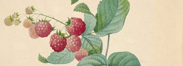 Image cropped from public domain flickr image: Raspberry (Rubus idaeus) ...