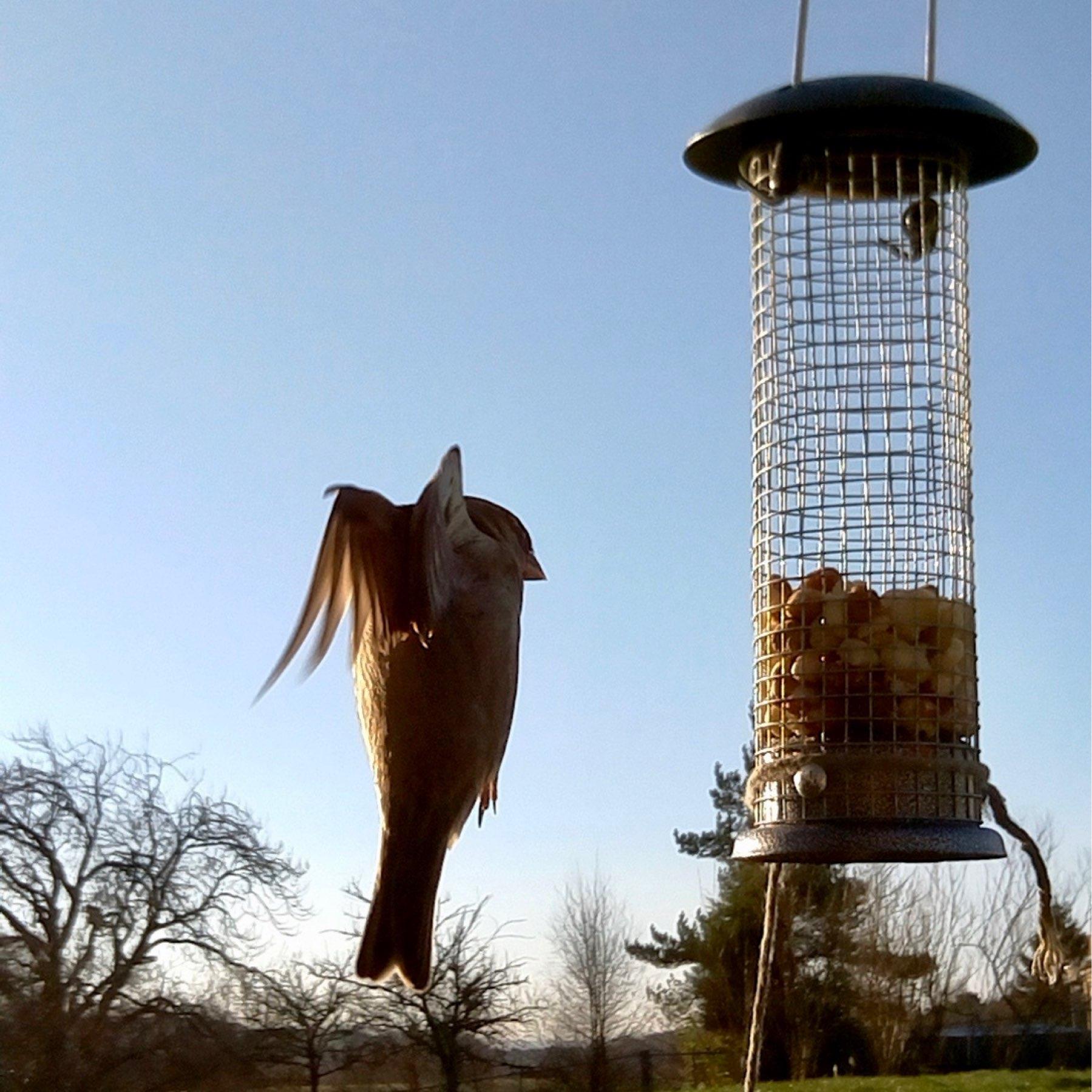 sparrow approaching bird feeder