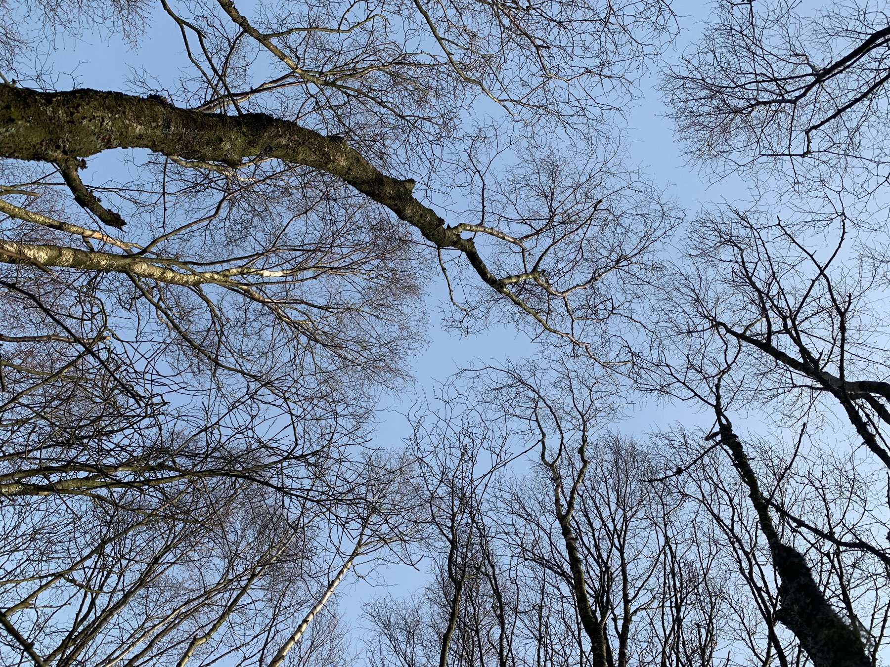 young birch trees from below in winter
