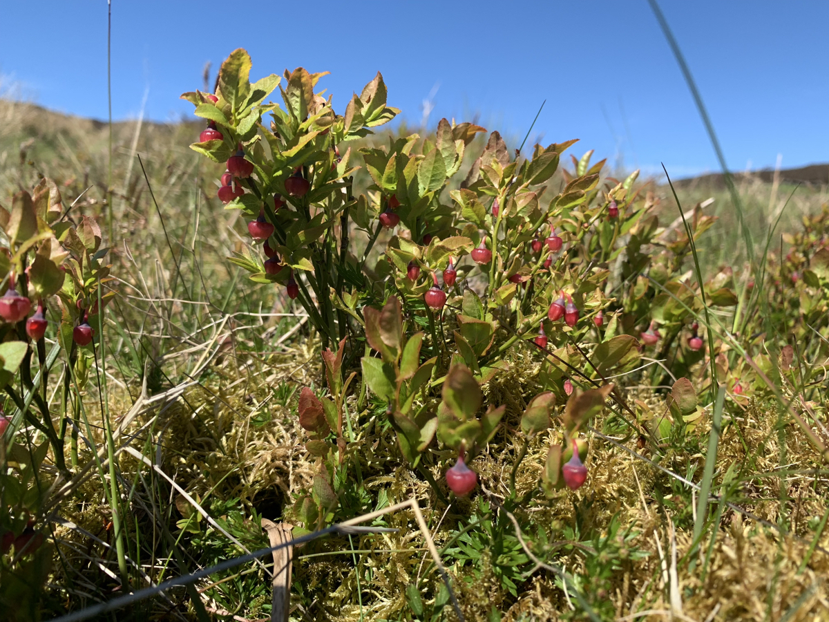 Blaeberries unripe