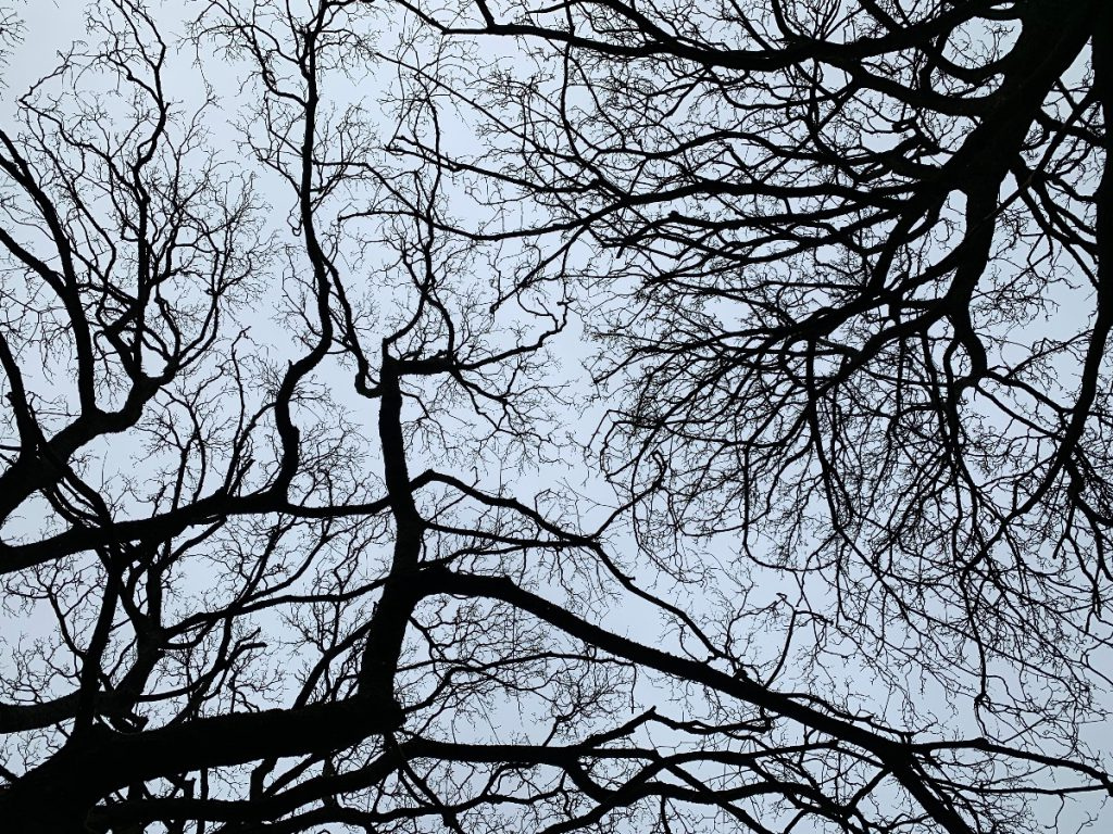 Sycamore bare branches from below.