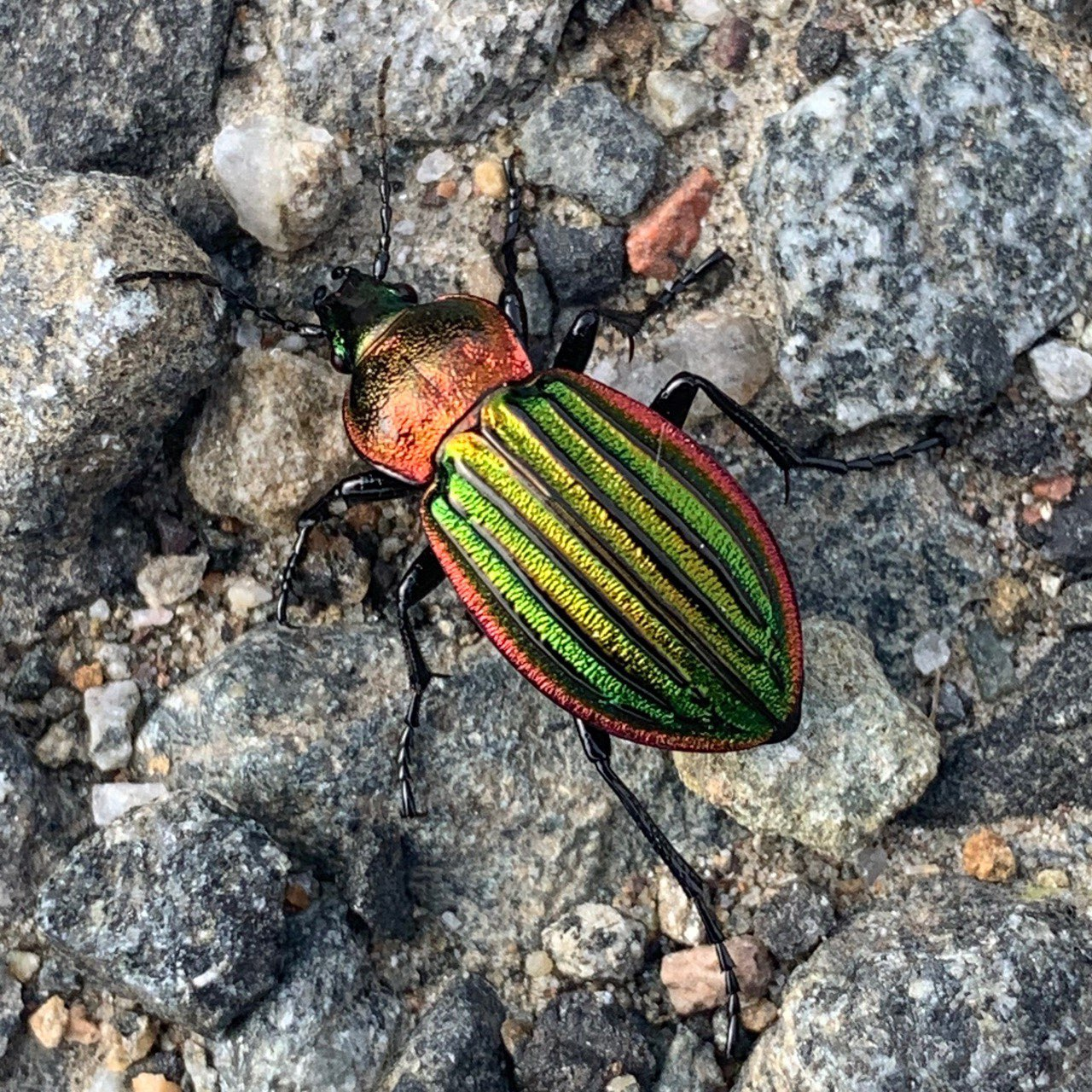 Ground Beetle. Carabus nitens perhaps.