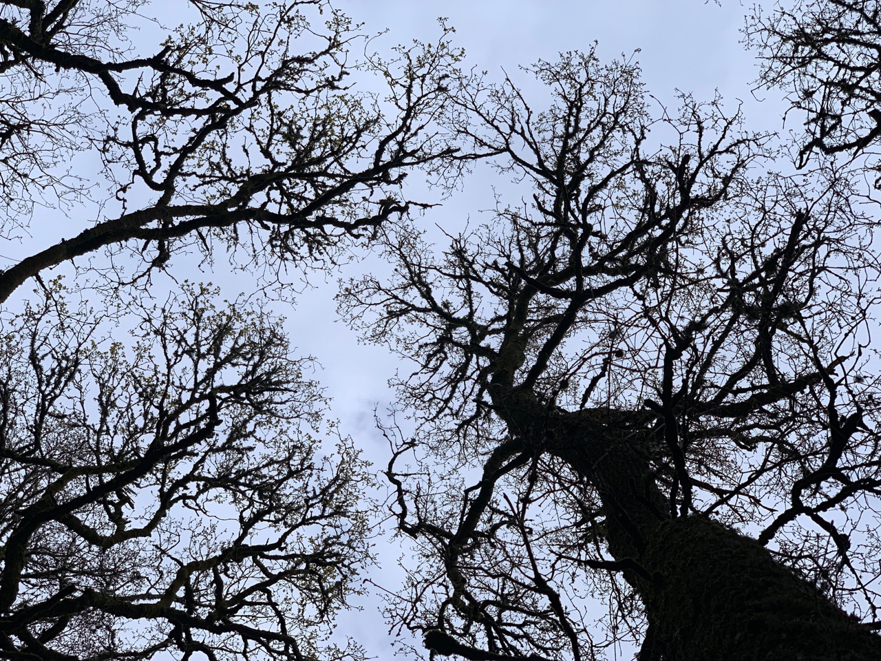 Oak Trees from below