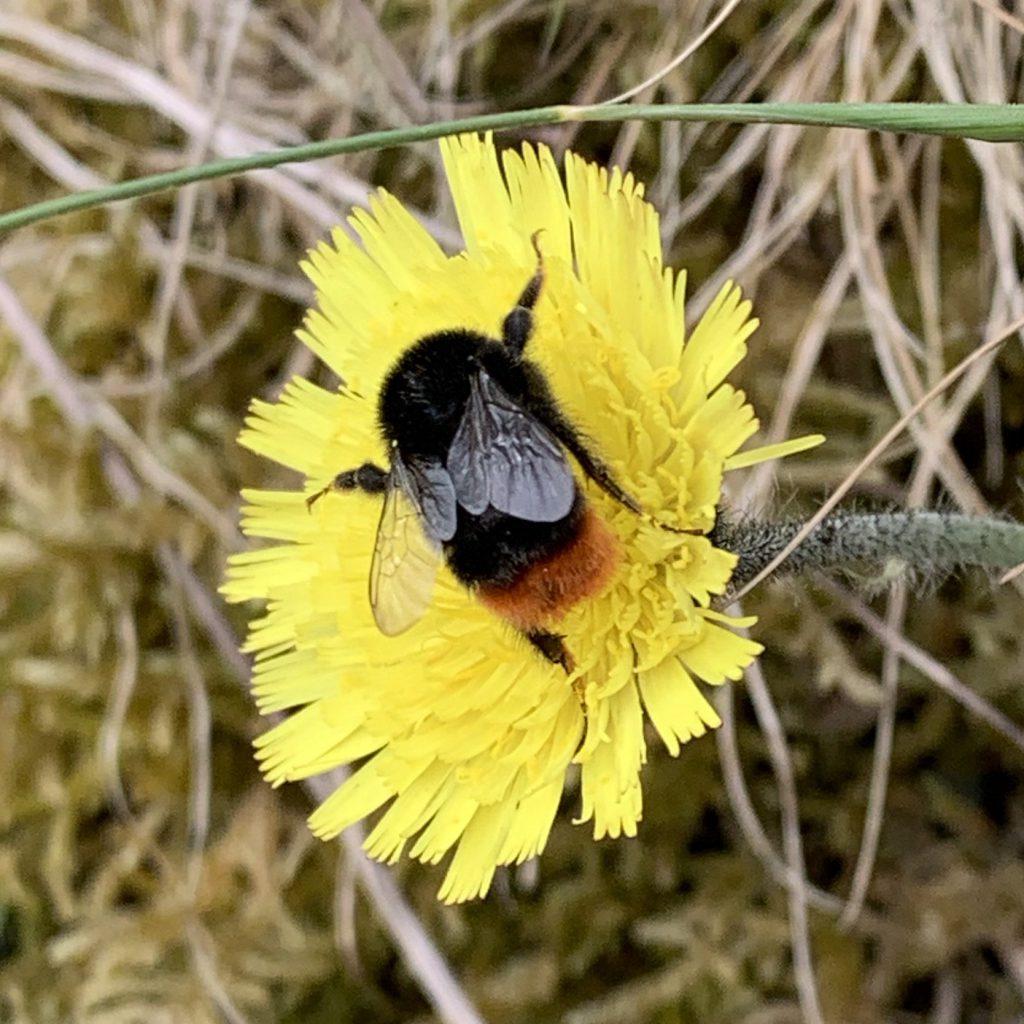 Beee on hawksbeard