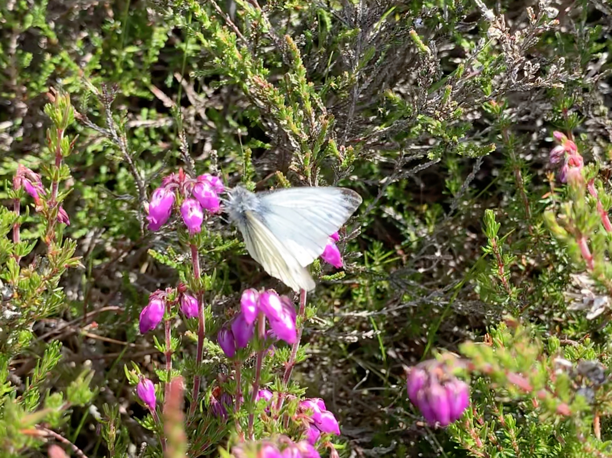 Green Veined Butterfly on bell heather