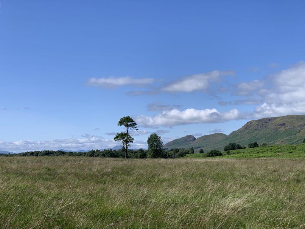 Scots pine, campsies behind