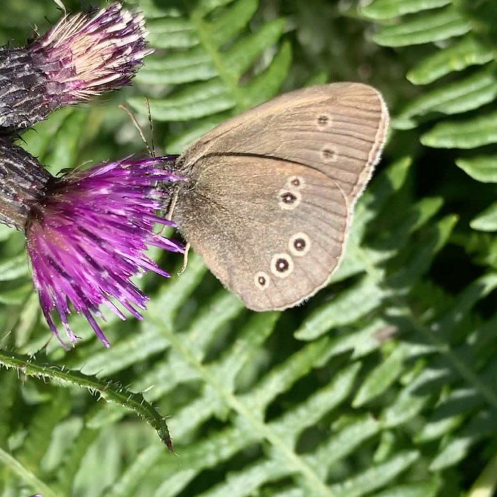 ringlet butterfly of thistle