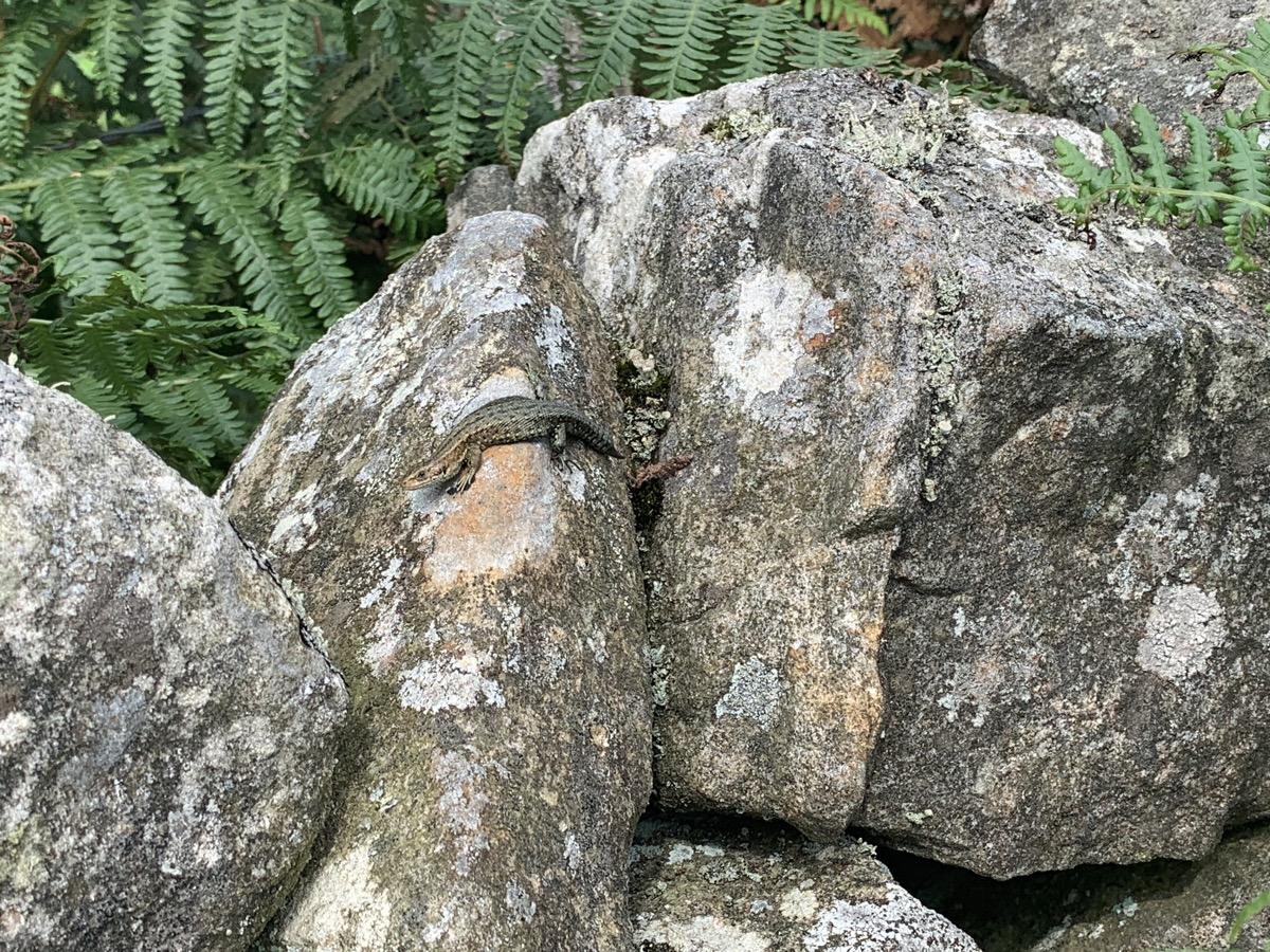 Common Lizard basking on wall