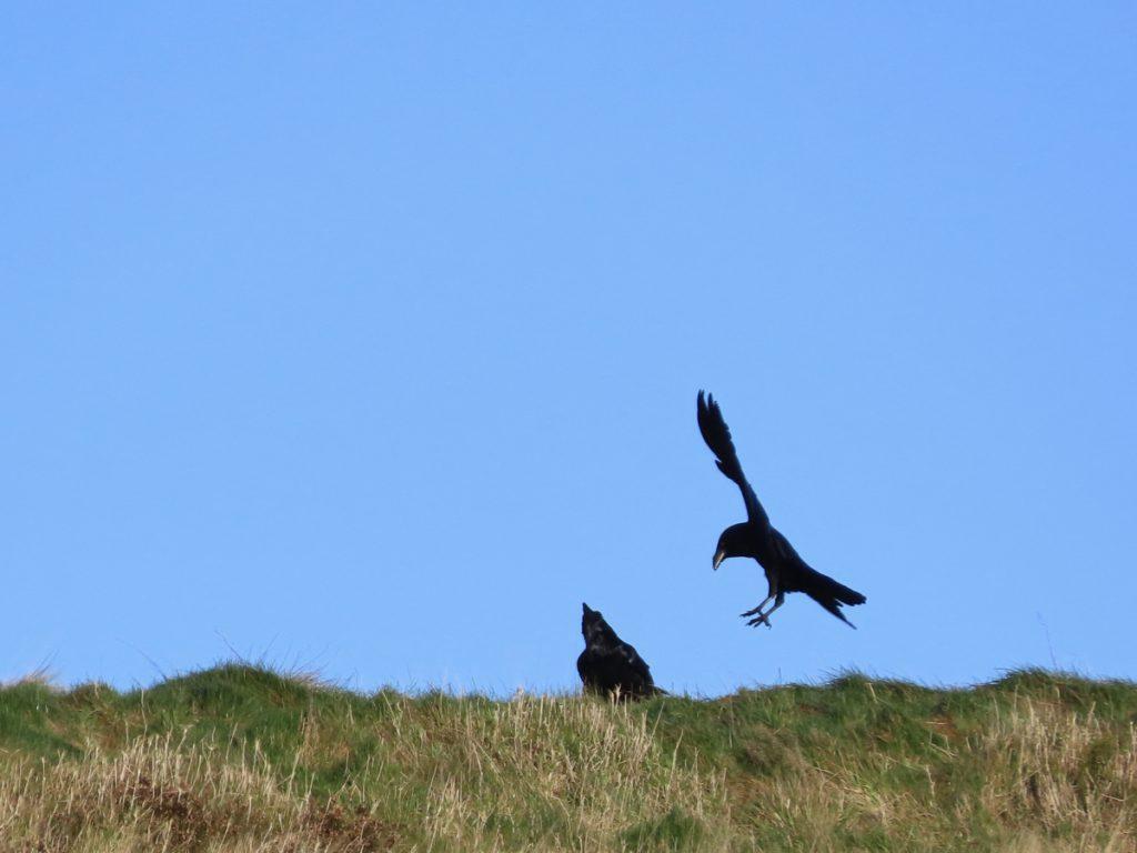 Raven landing beside another