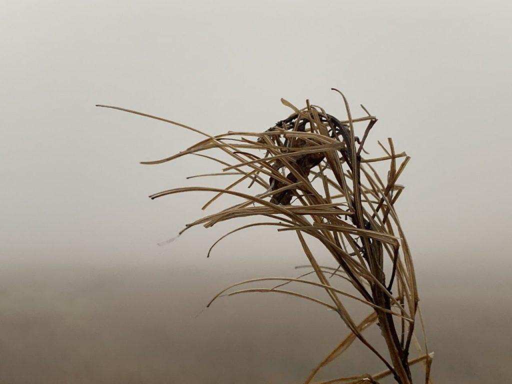 dead rosebay willlherb head on a misty day