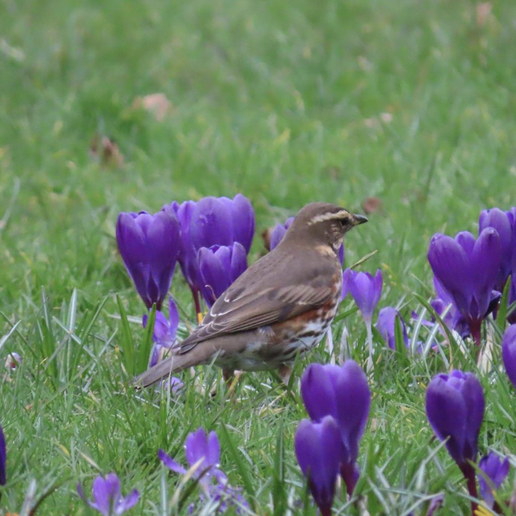 Redwing in the crocuses