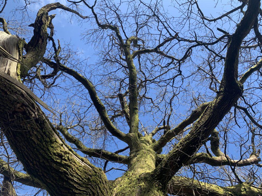 Oak from below