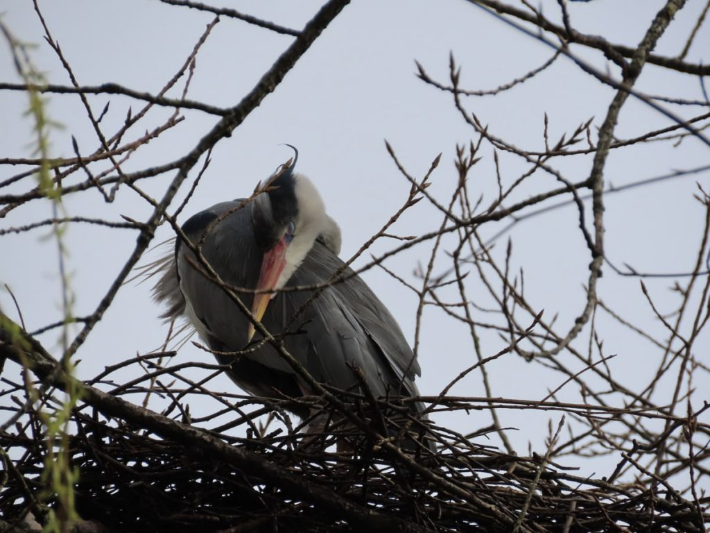 heron grooming on nest
