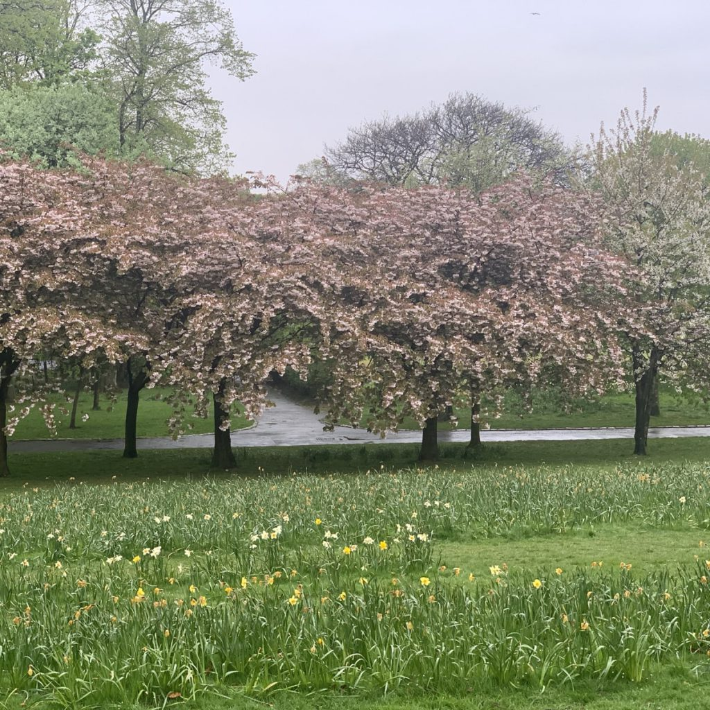 blossom trees in the rain