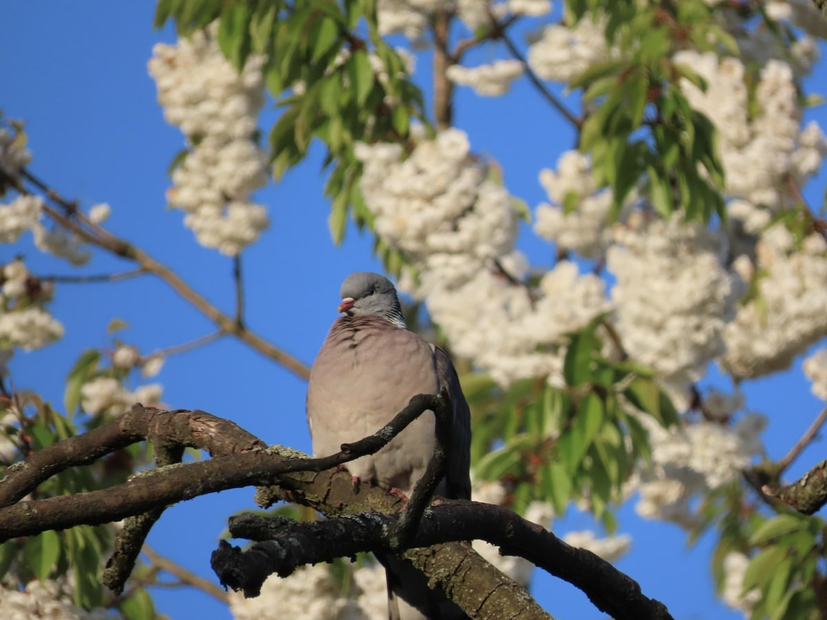 pigeon blossom behind