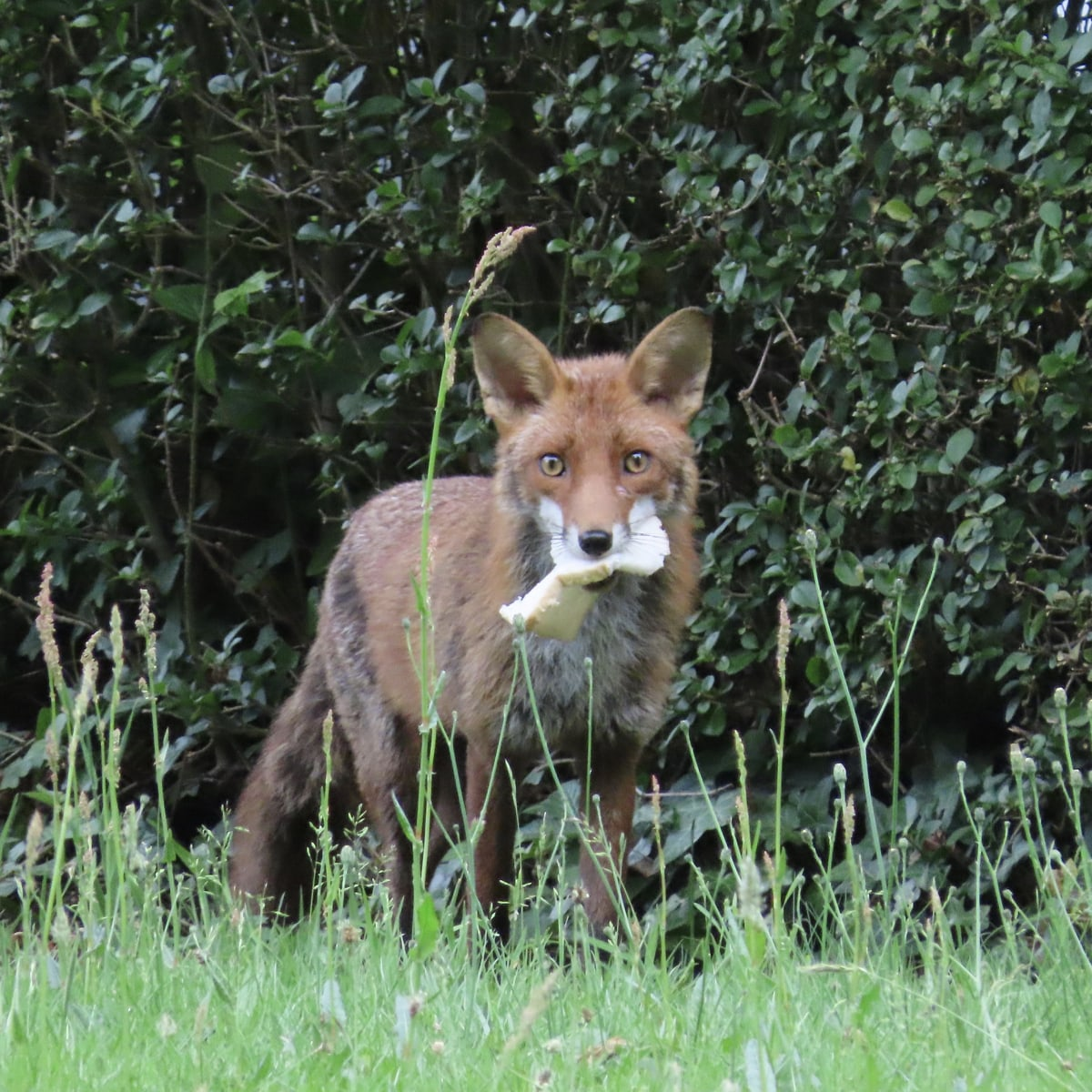 Fox with piece of bread in mouth