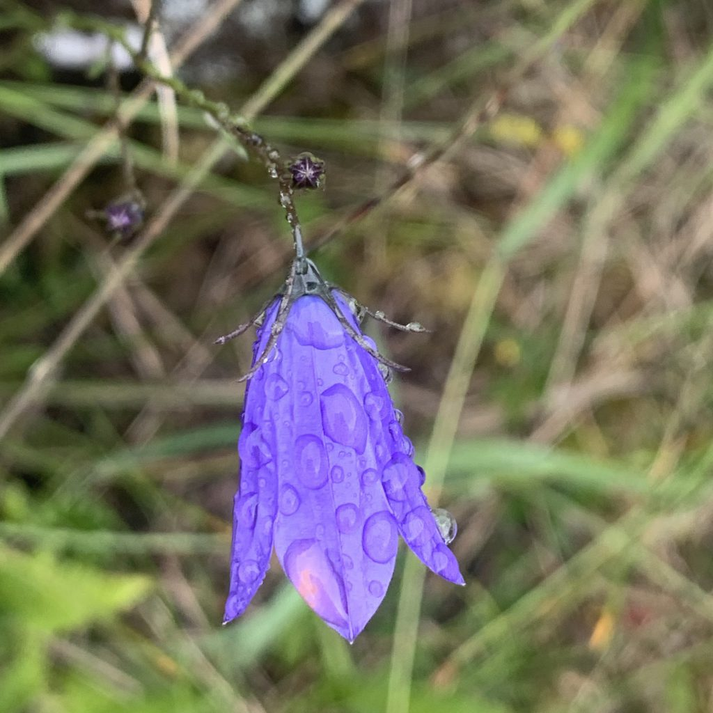 Harebell wet with rain