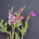 Common & Bell Heather