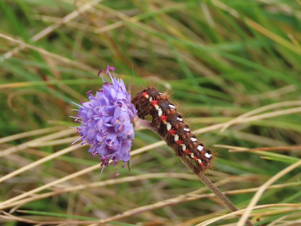 caterpillar scabious