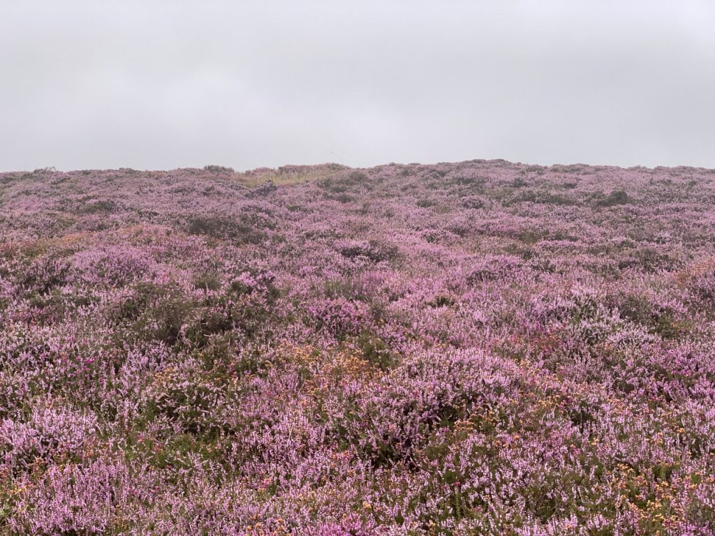 mooorland purple heather
