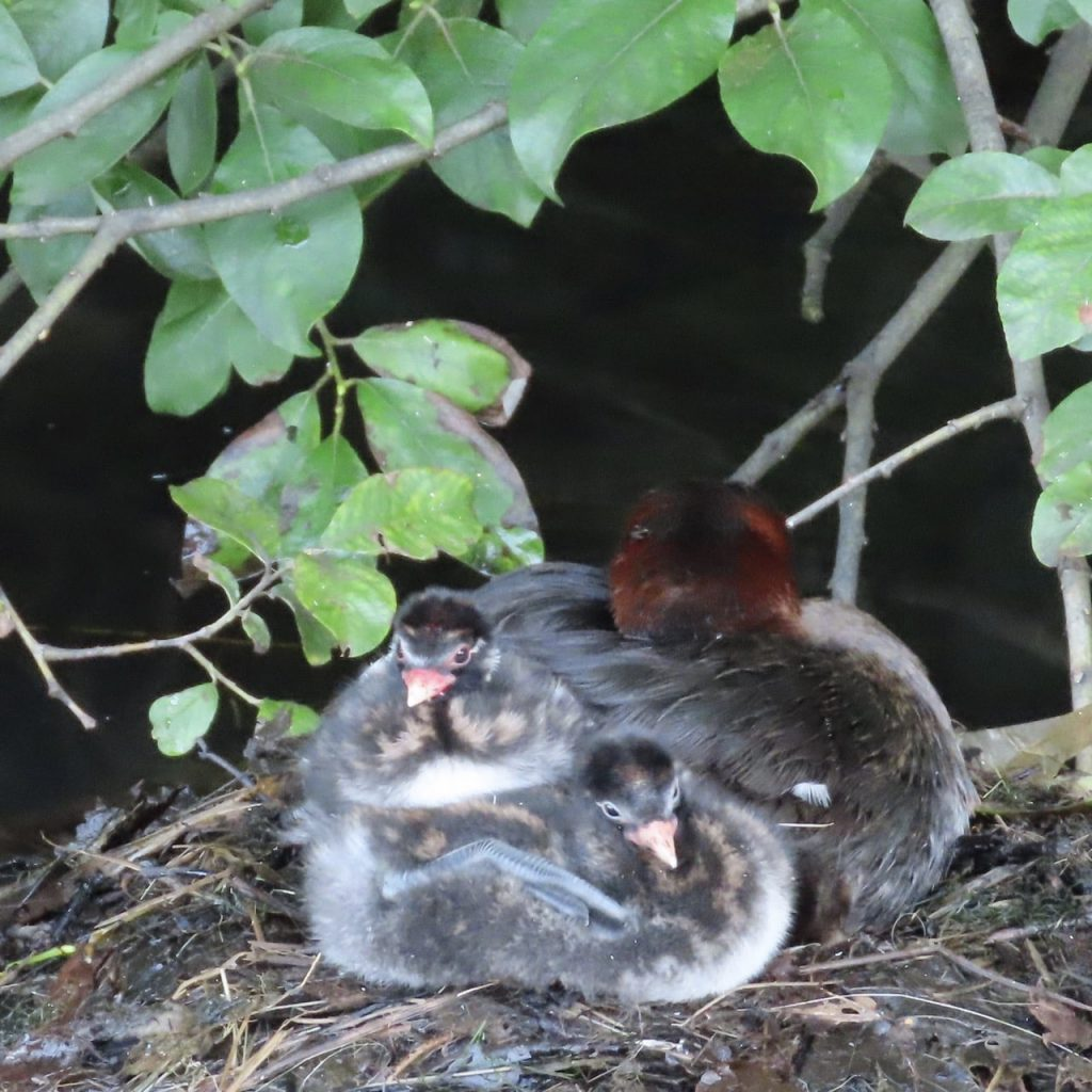 2 dabchick chicks with parent