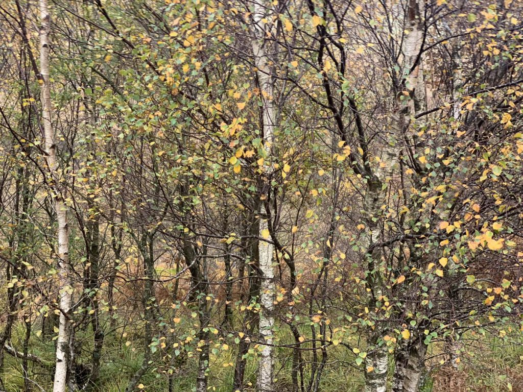 Silver Birch Trees Autumn