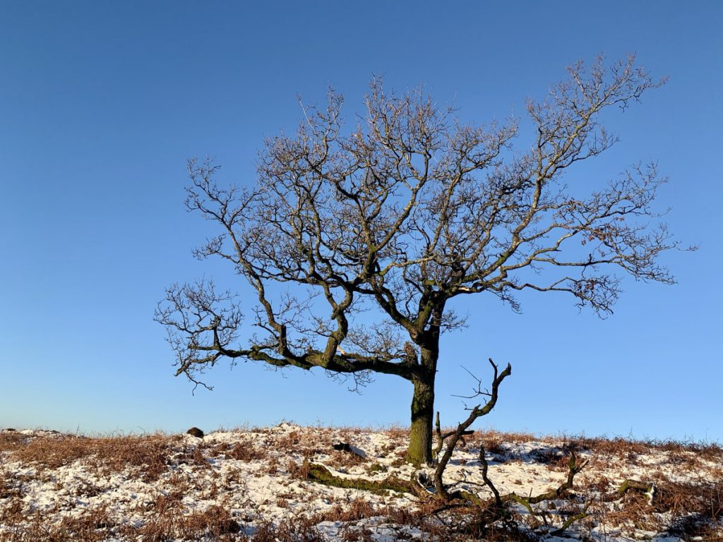 Winter Oak Tree on Kilpatrick Muir