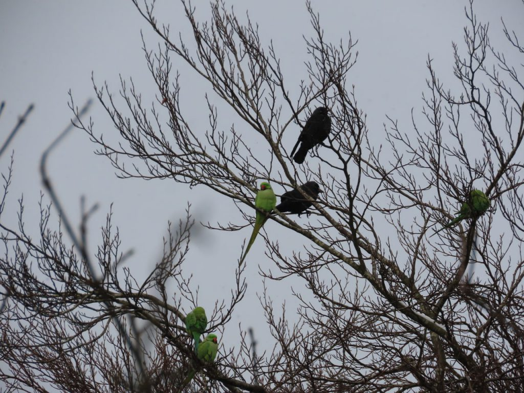 Parakeets and Jackdaws in treetops
