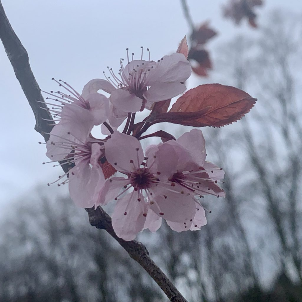 Either Cherry Plum or Japanese Cherry according to PlantNet.