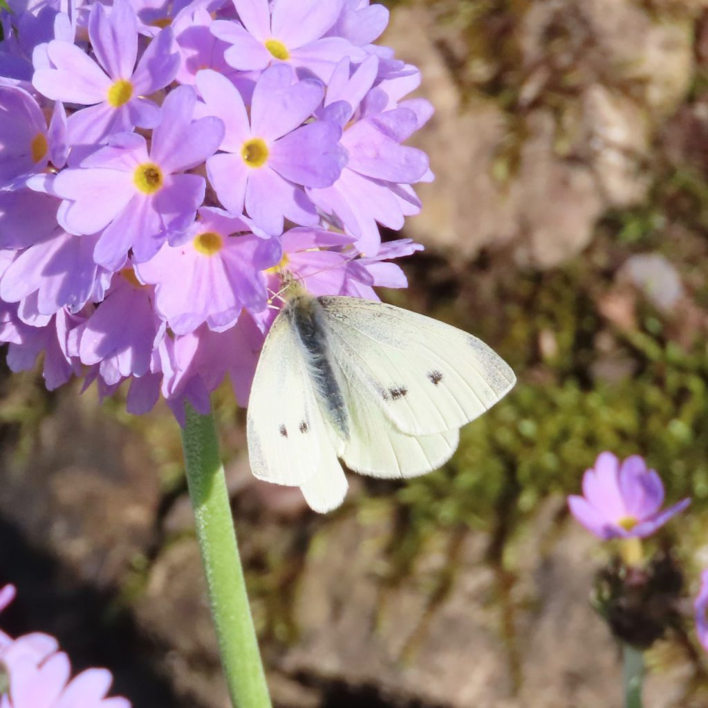 Green Winged White