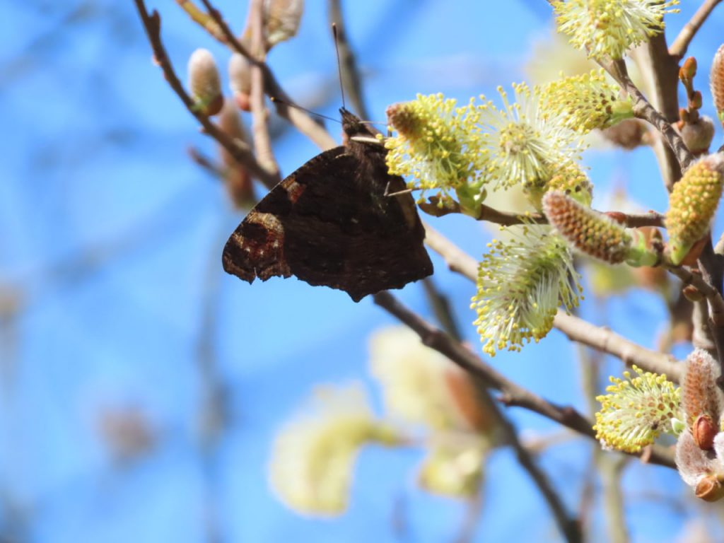 Peacock Butterfly feeding on willow