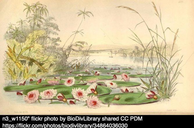 illustration from Curtis's botanical magazine
