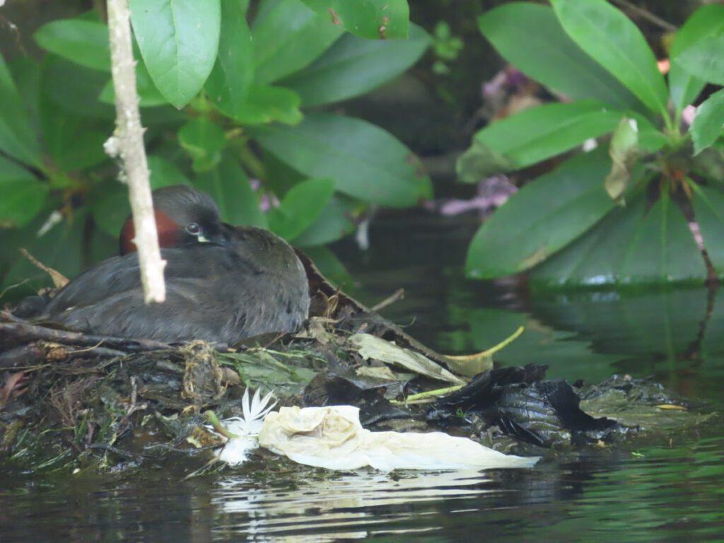 dabchick on nest