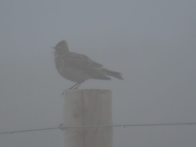 Lark on a fence post, poor visibility