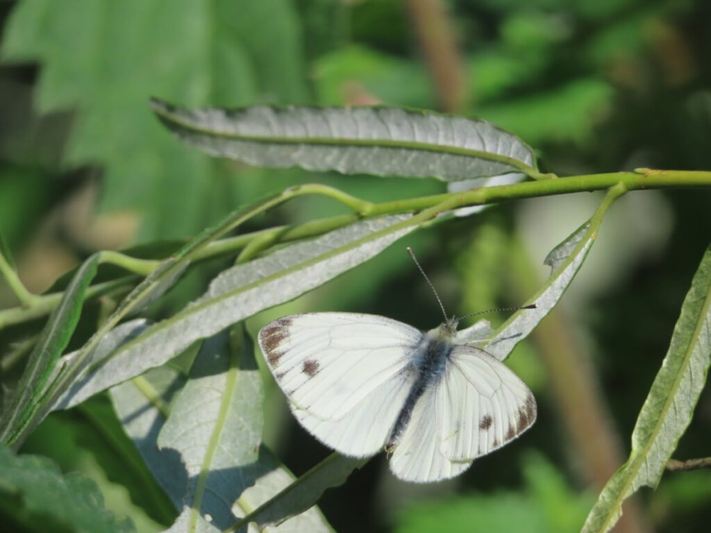 Small White or Green Veined White