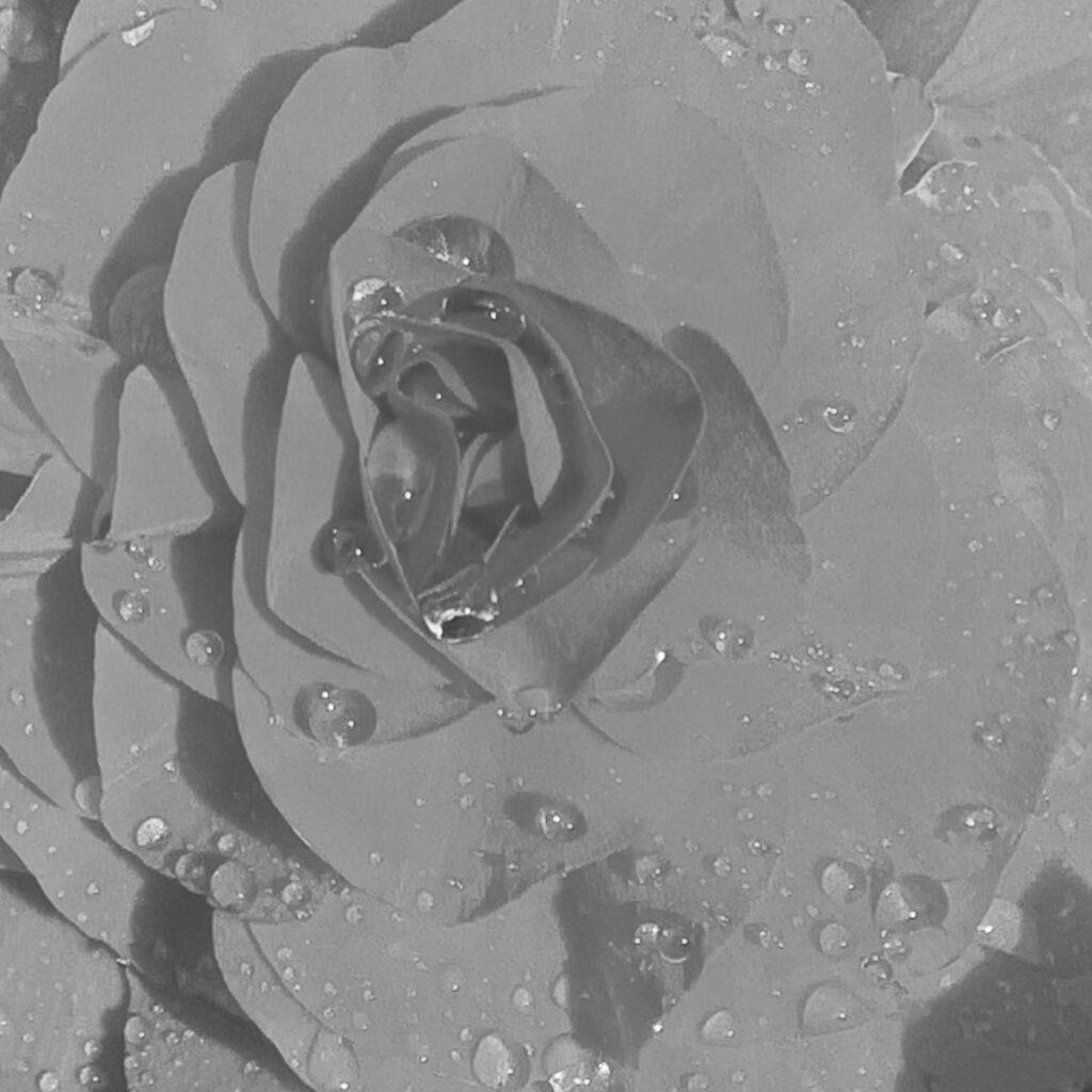 begonia crop noir filter